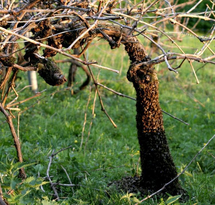 Bienenschwarm an der Rebe